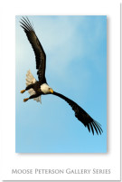 Bald_Eagle_2585 image