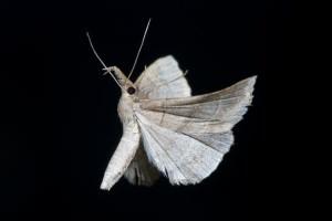 0212 Moth in Flight image