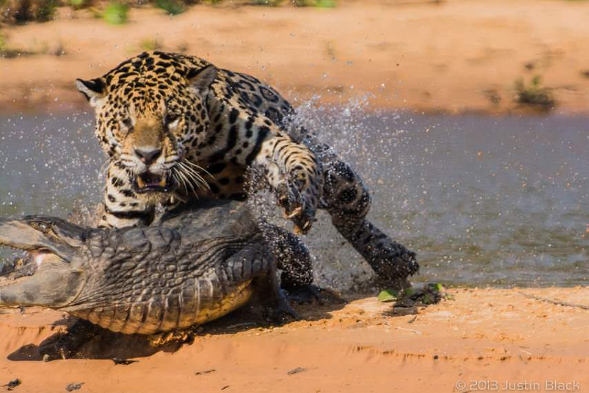 caiman jaguar 2 image