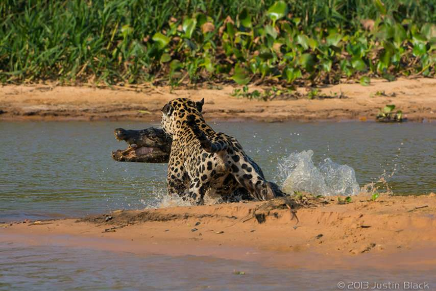caiman jaguar 4 image
