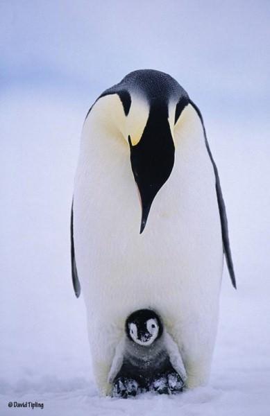 penguines 4 image