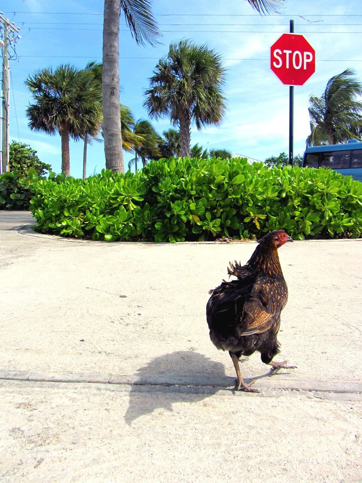 So why did the chicken cross the road? image