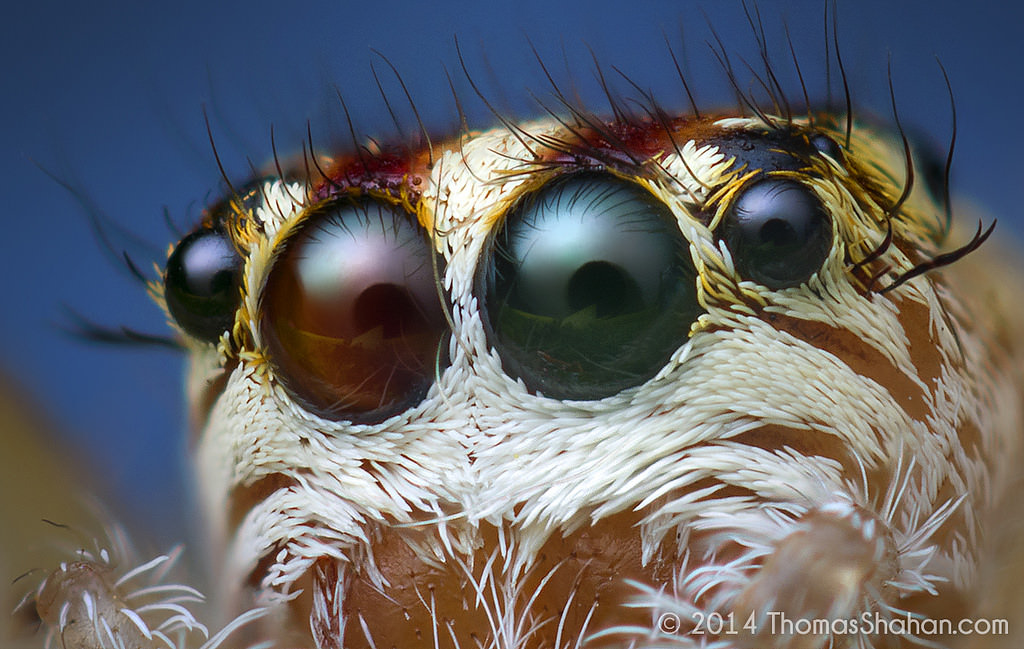 Anterior Eyes of a Female Phanias sp. Jumping Spider - Oregon image