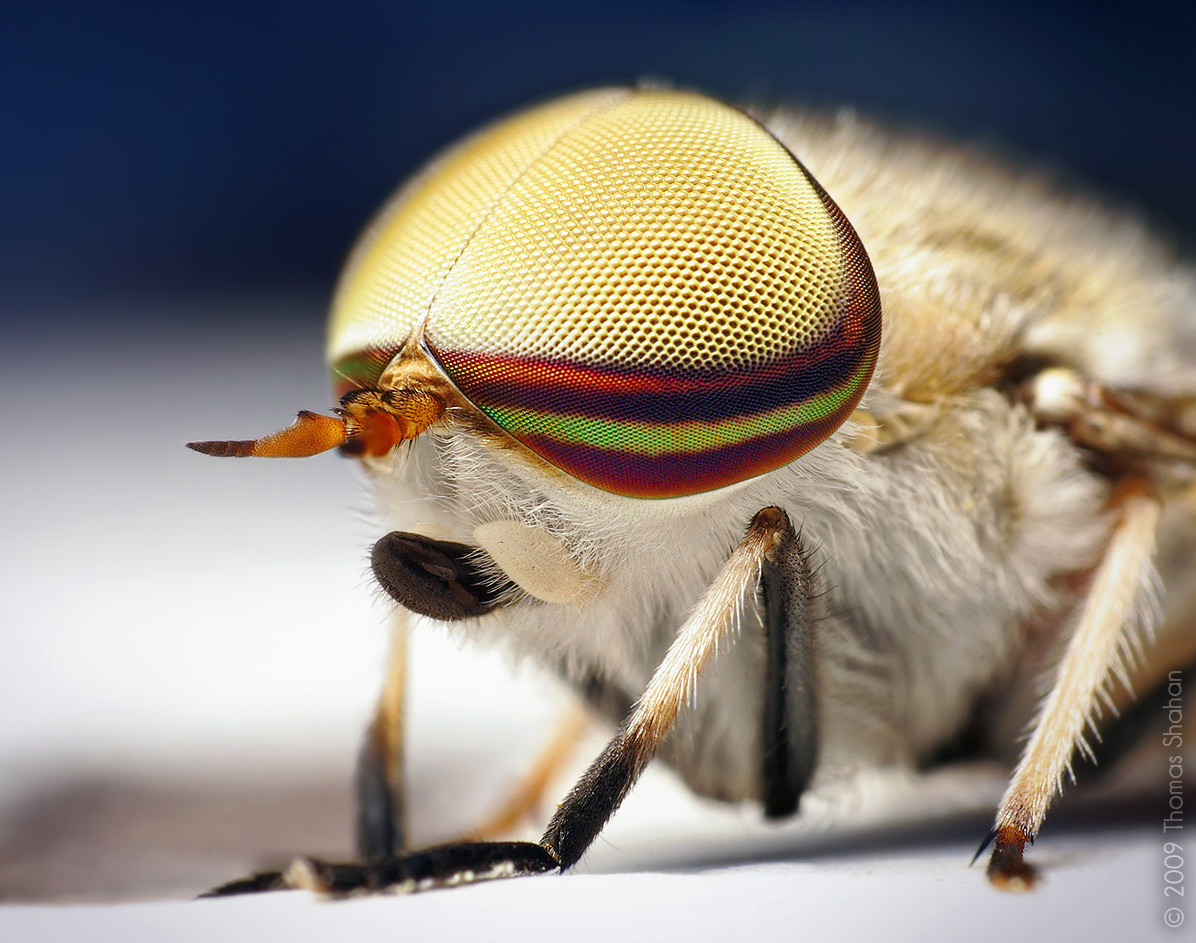 Male Striped Horse Fly (Tabanus lineola) image