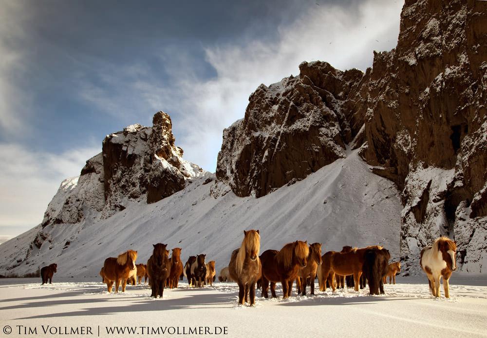 Icelandic-horses.-best-off image