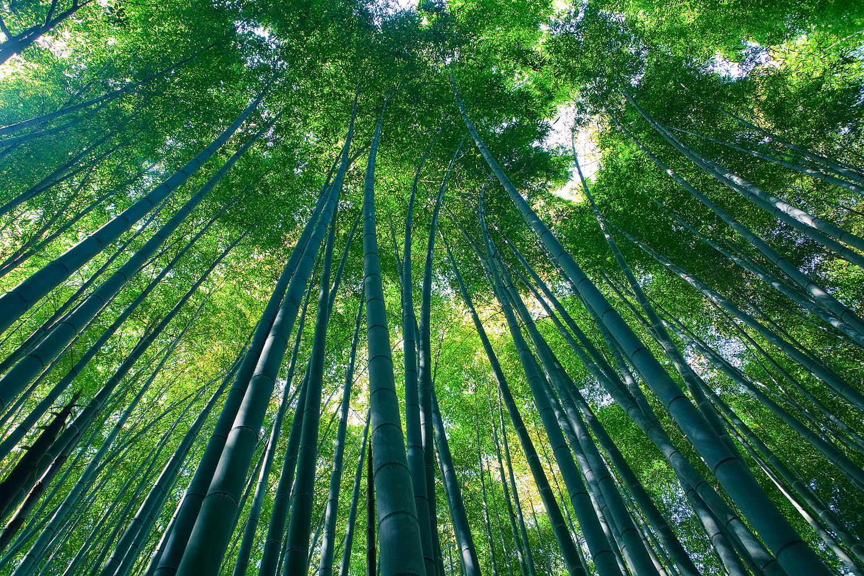 Bamboo Forrest of Sagano image