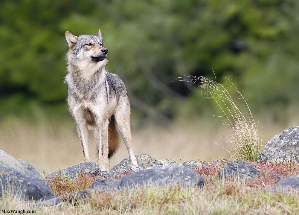 wolfgray100311van37 1000px image