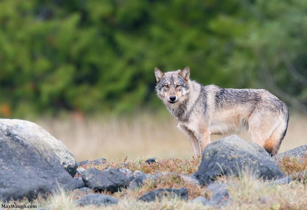 wolfgray100311van41 1000px image
