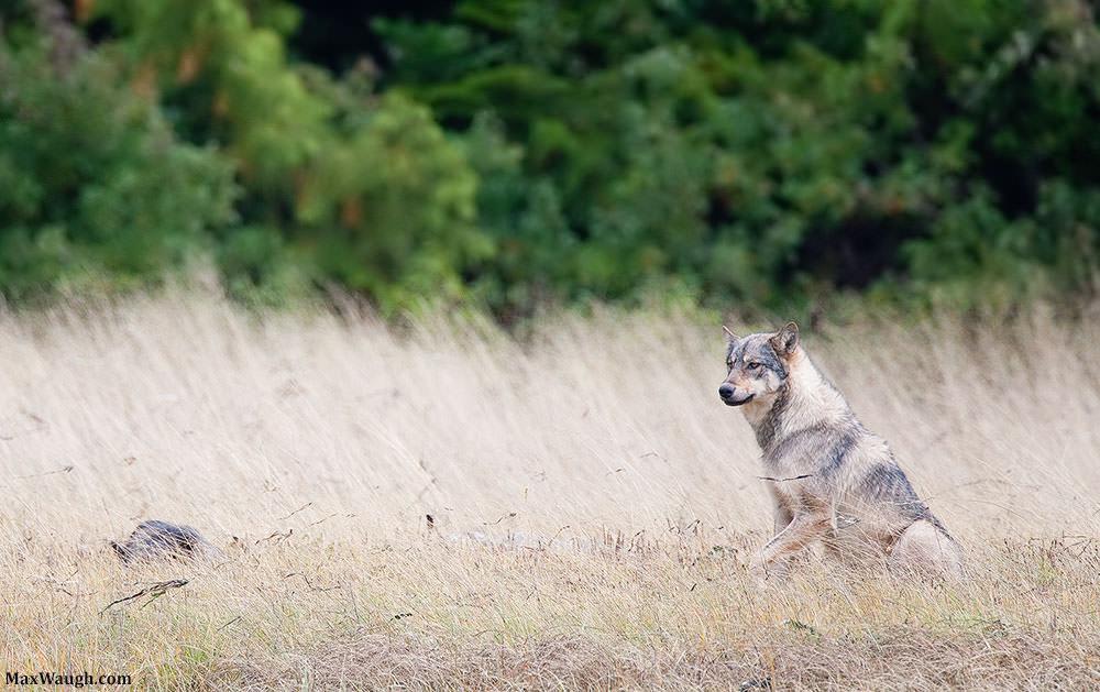 wolfgray100311van68 1000px image