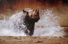 Rhinocerous image