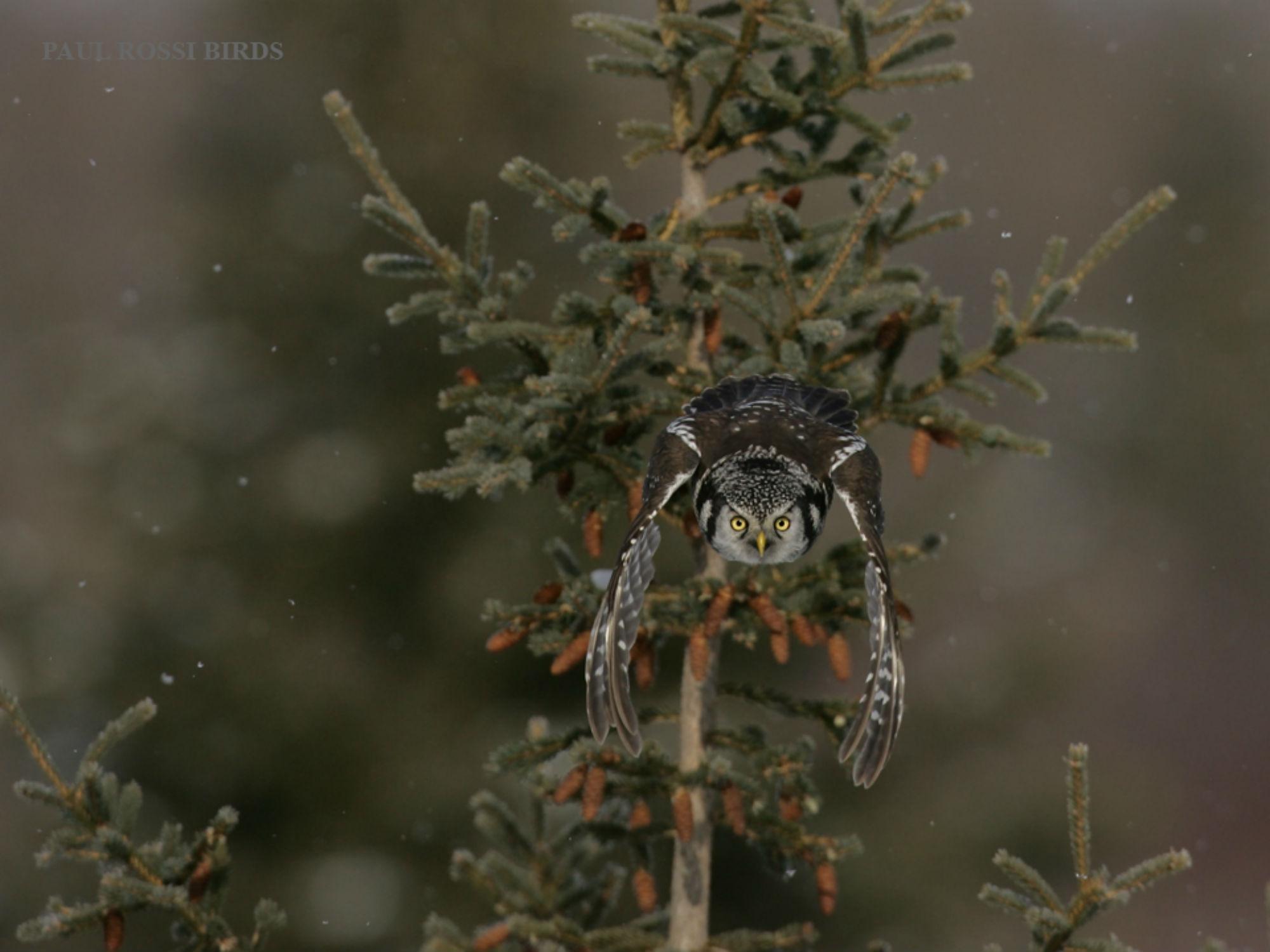 Hawk Owl image
