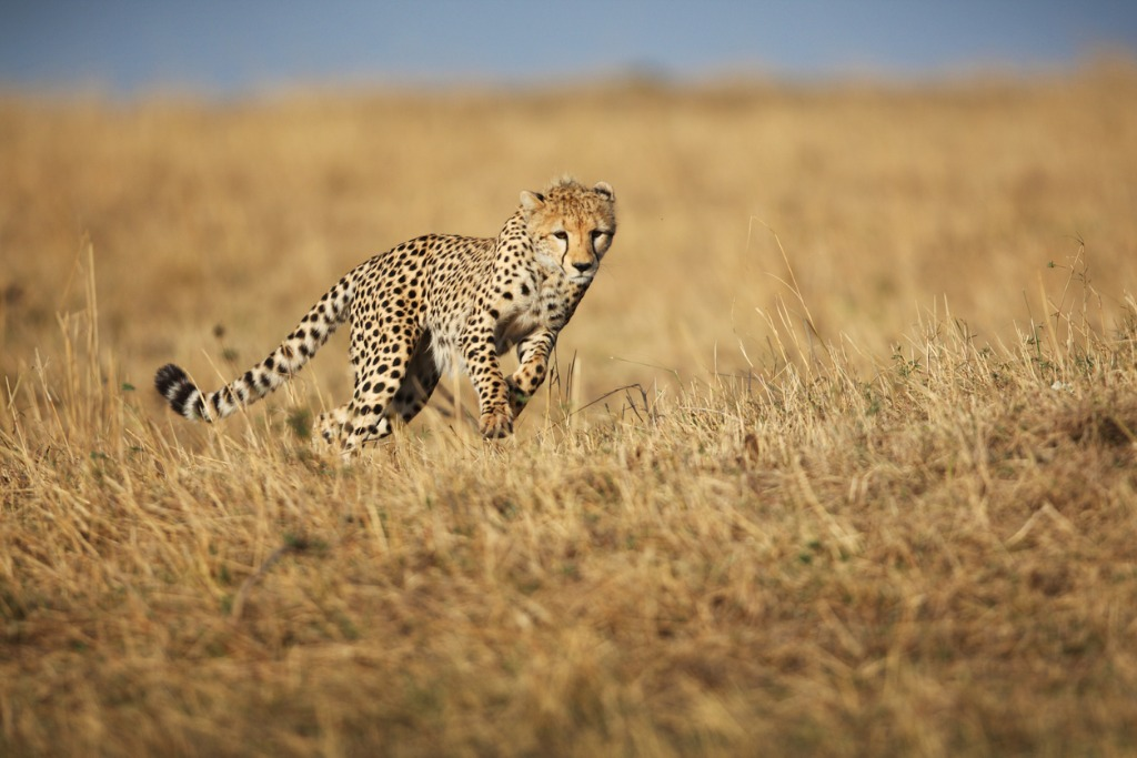 cheetah hunting picture id157616694 image