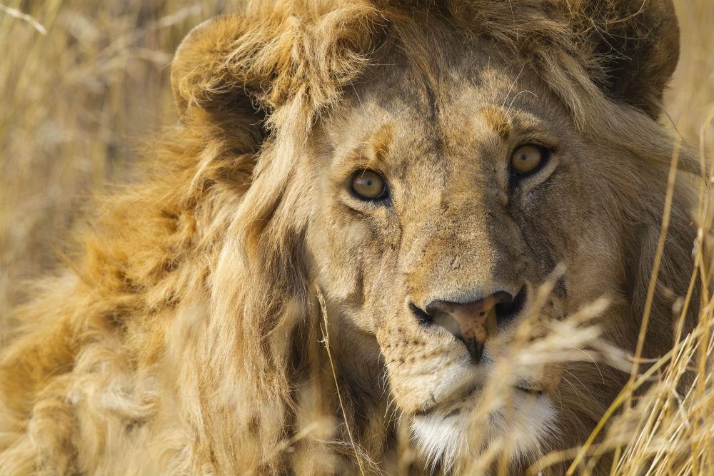 African Lion Tanzania Kathy Adams Clark image