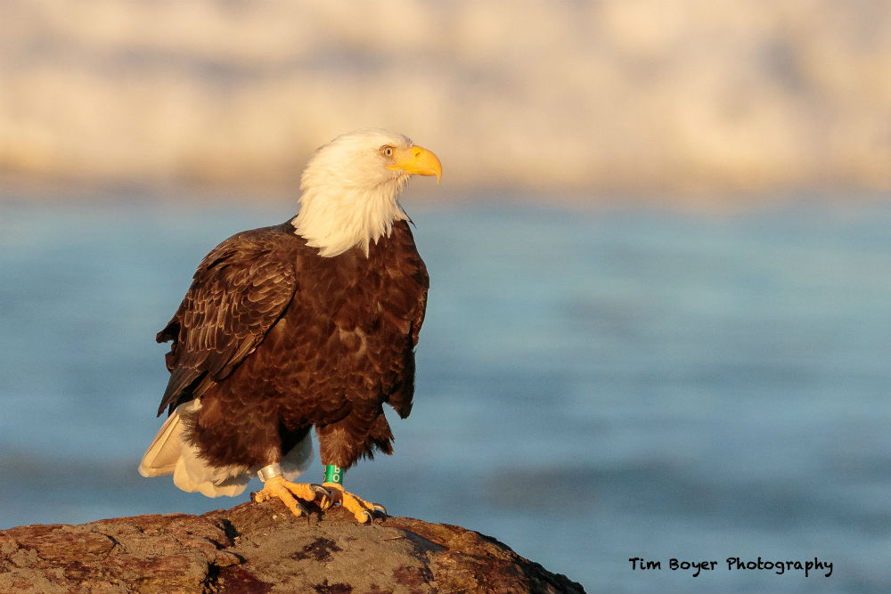 Bald Eagle 7404 image