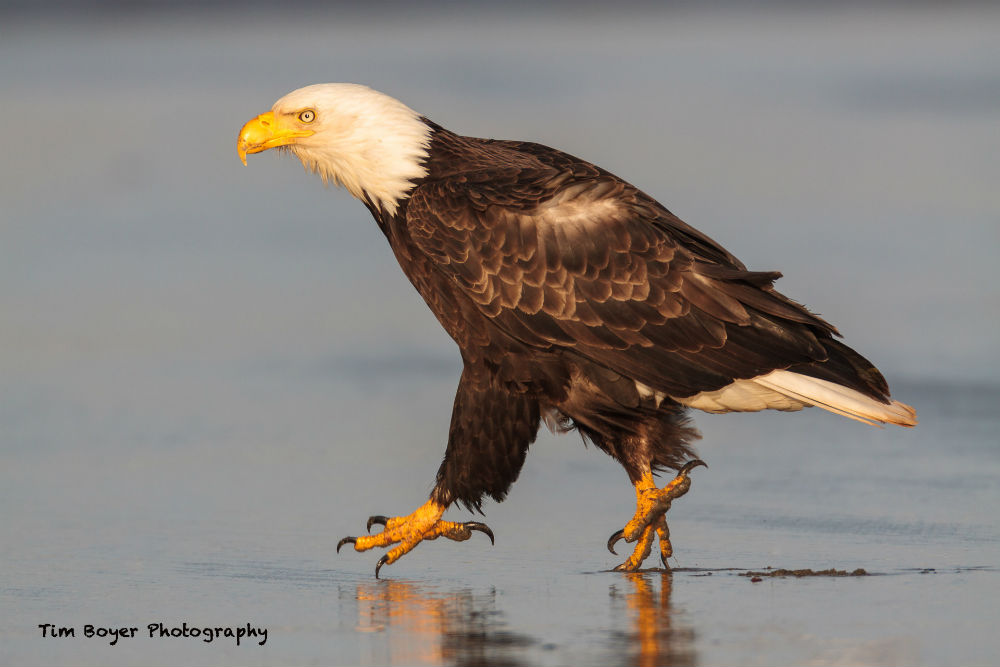 Bald Eagle Walking 3 image
