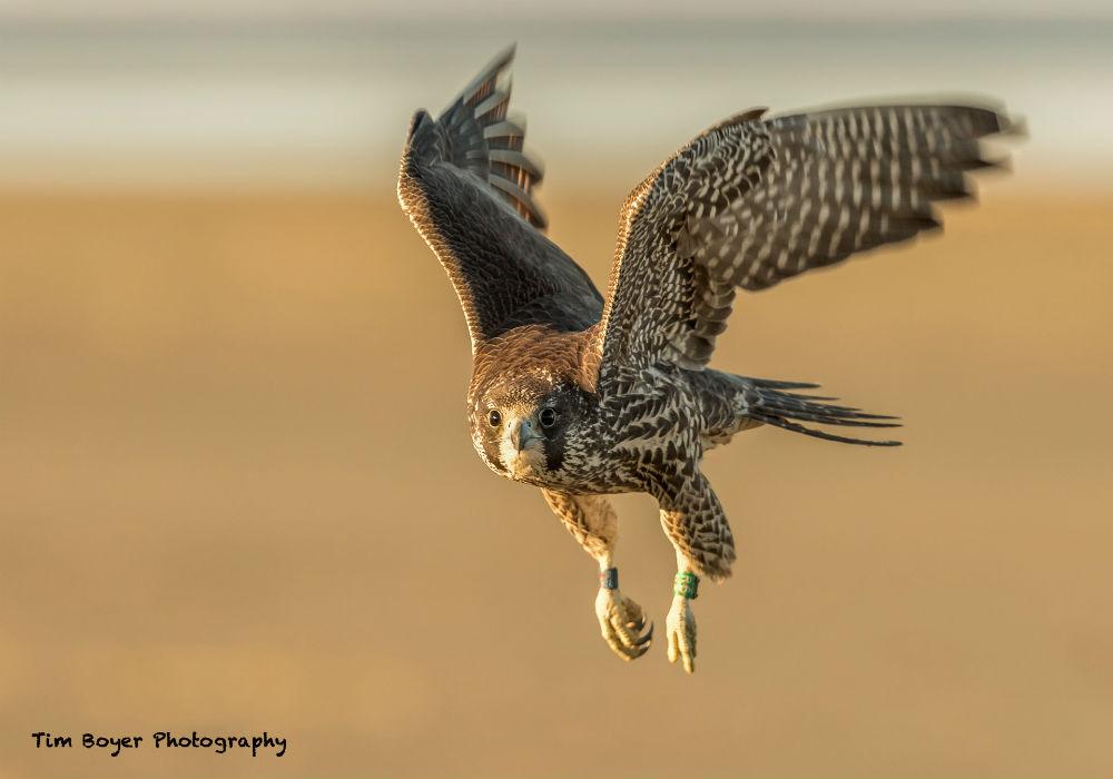 Peregrine Falcon 5484 image