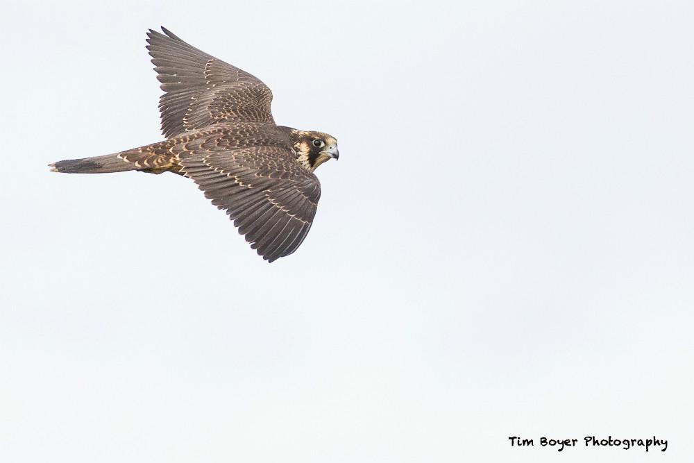 Peregrine Falcon 8756 image