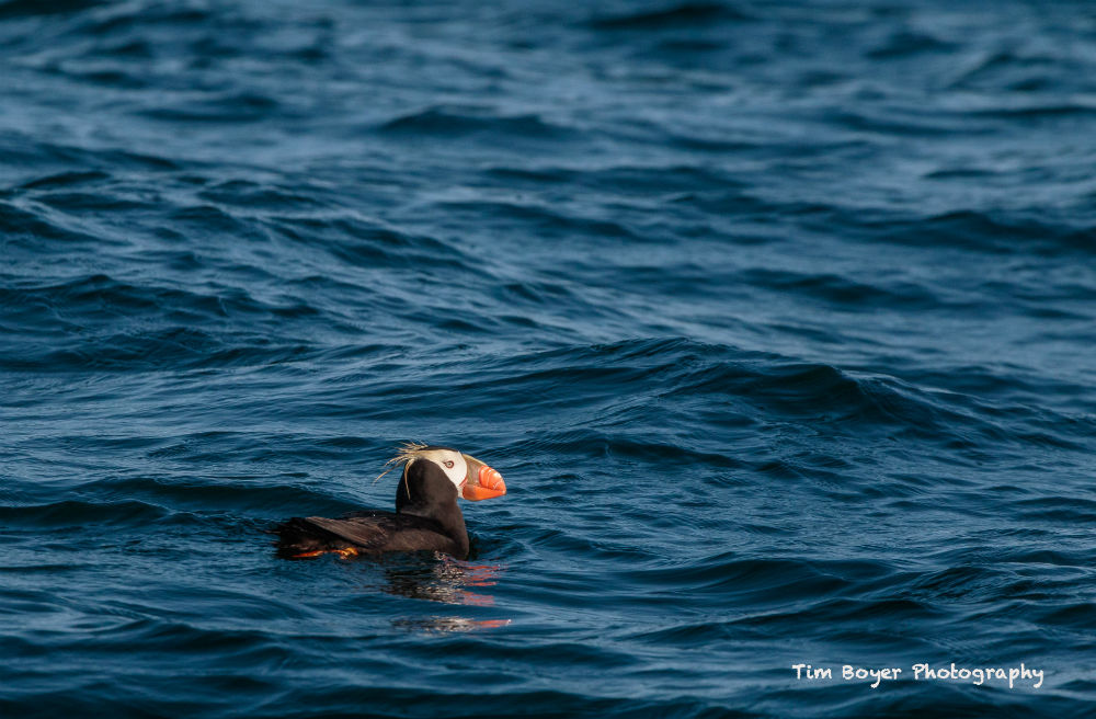 Tufted Puffin Sitting on the Water 1820 image