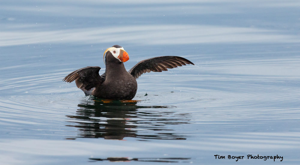 Tufted Puffin Wing Flap 4412 image