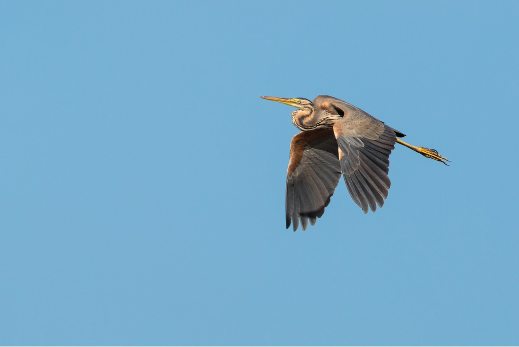 flying purple heron picture id807208002 image