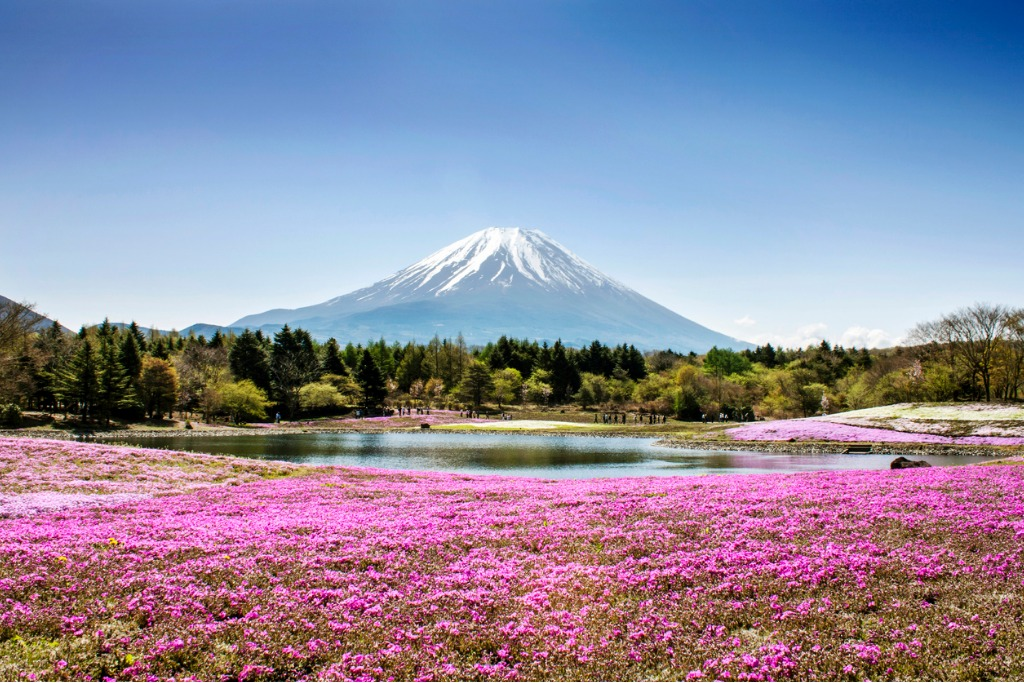 field of flowers by a lake overlooking fuji mountain picture id461935783 image