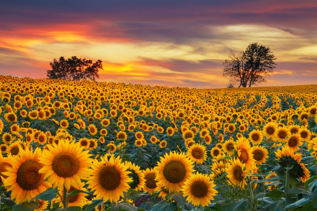 blooming sunflower field picture id877356936 image