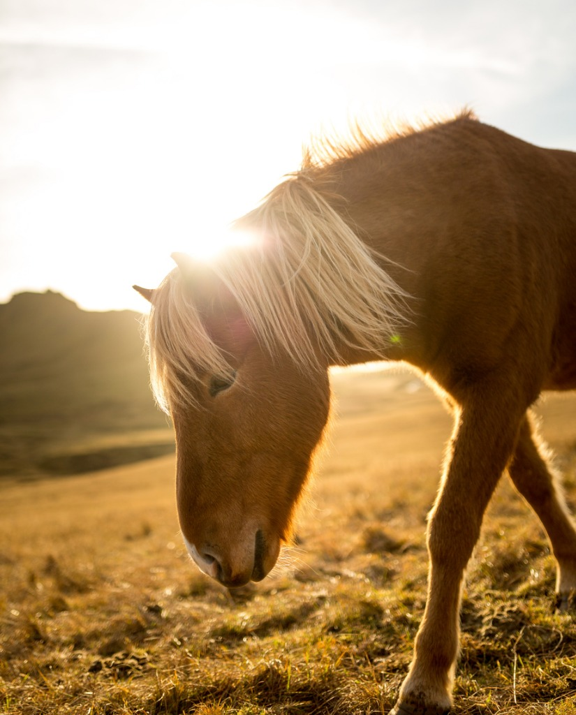 iceland horse during sunset at southern icelandic coast iceland pony picture id935271124 image