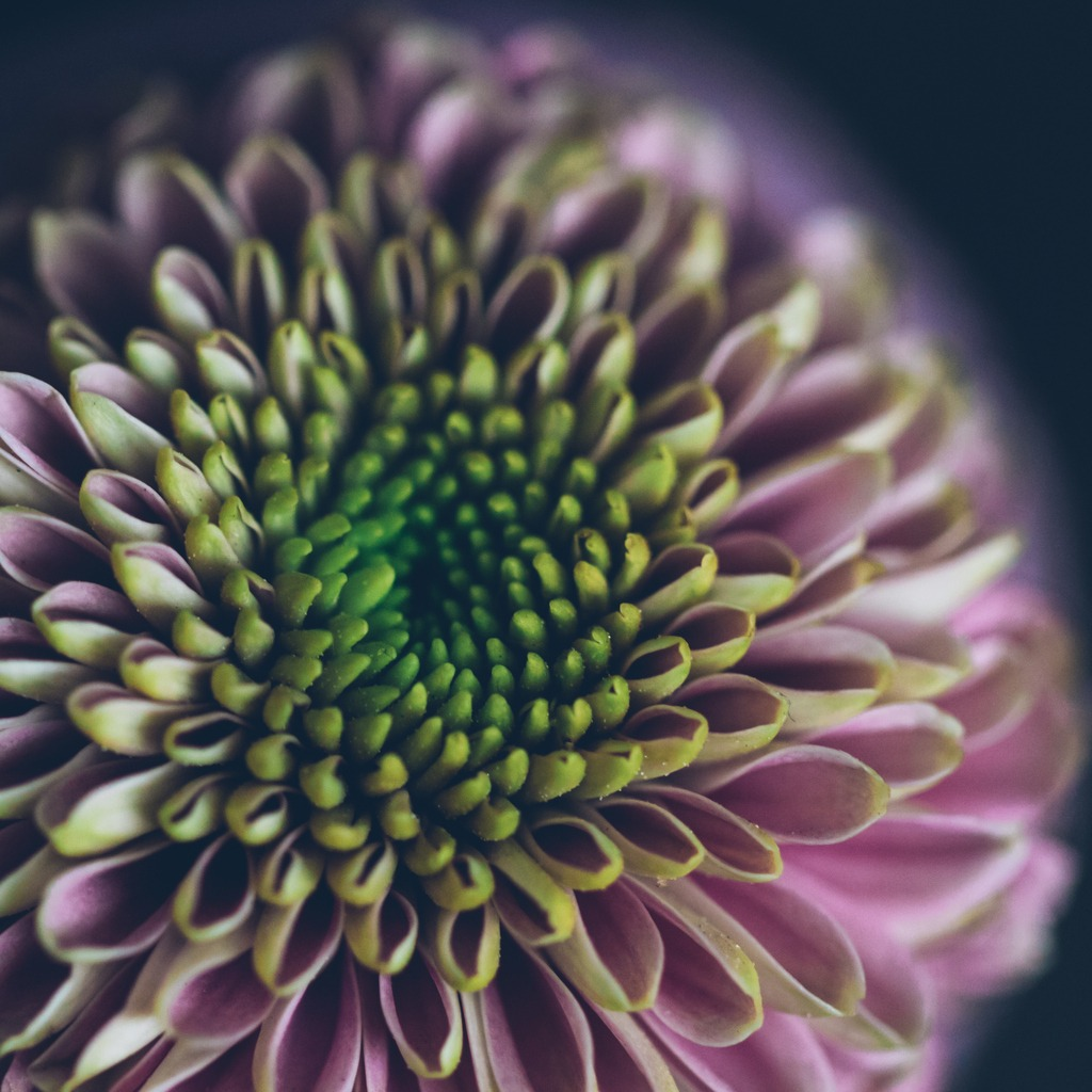 chrysanthemum picture id680141532 image