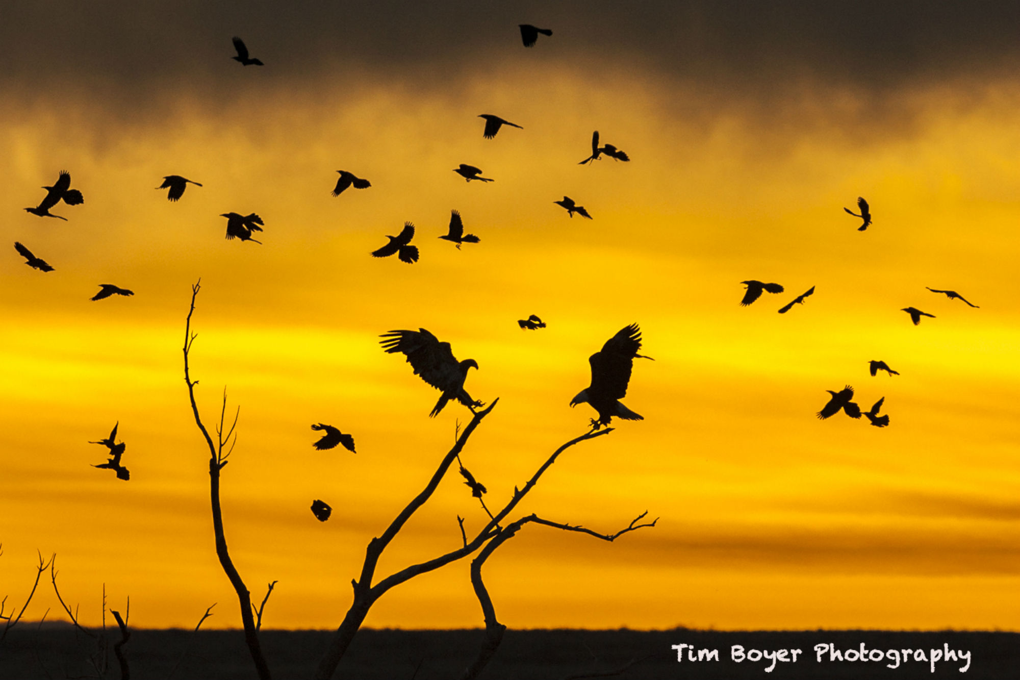 tim boyer photography eagles image