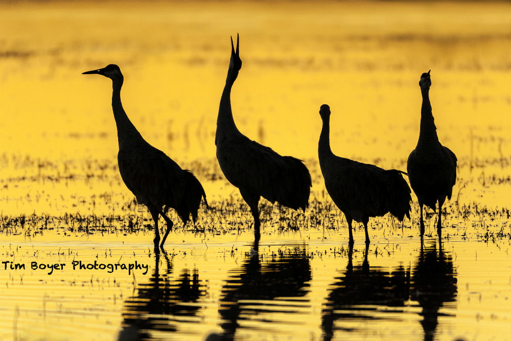 Family of Cranes 2 image