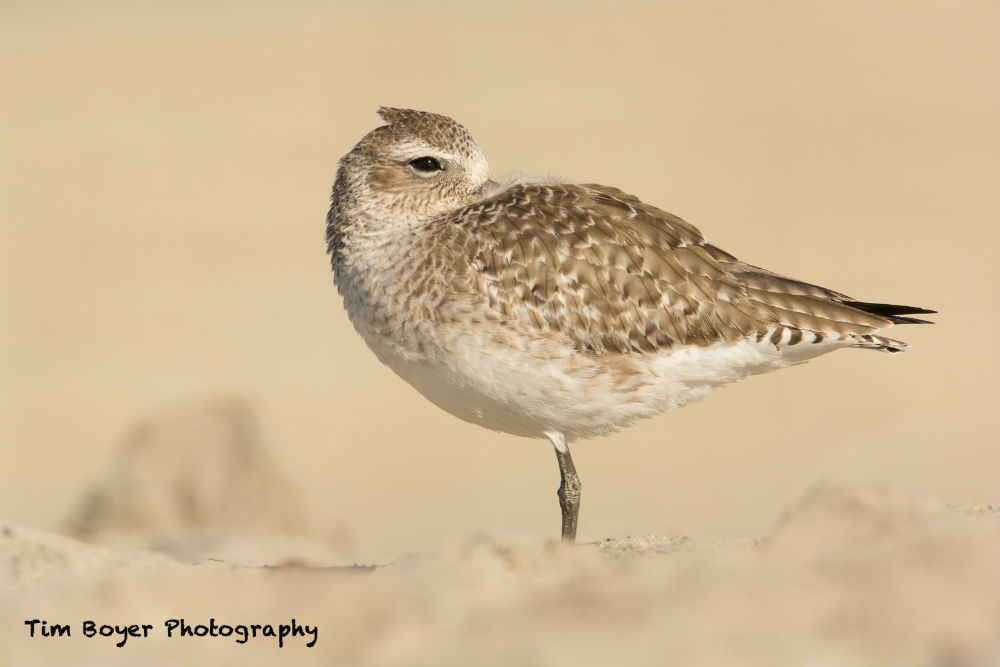 Black bellied Plover 9655 image