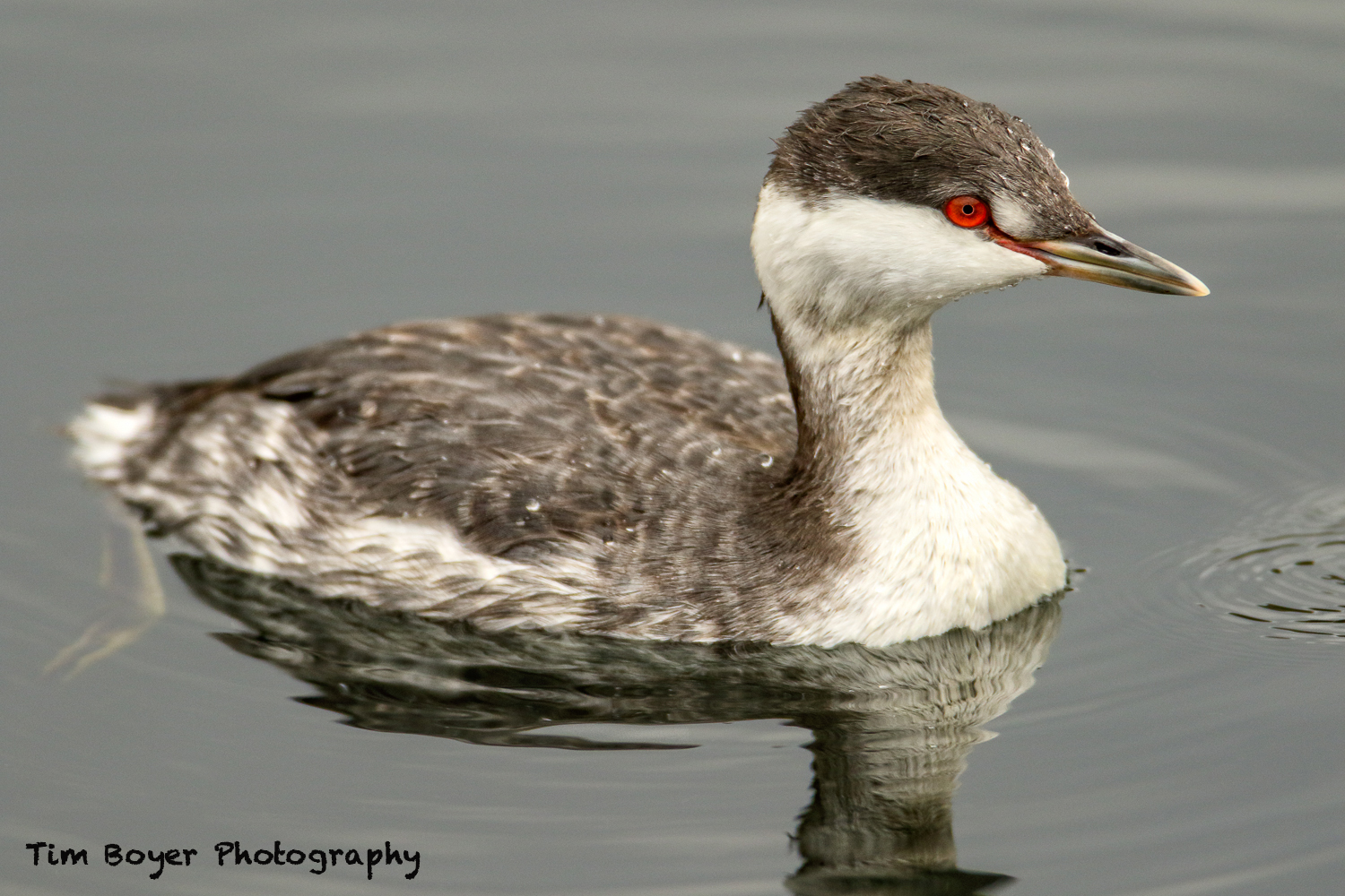 Horned Grebe 1 0084 image