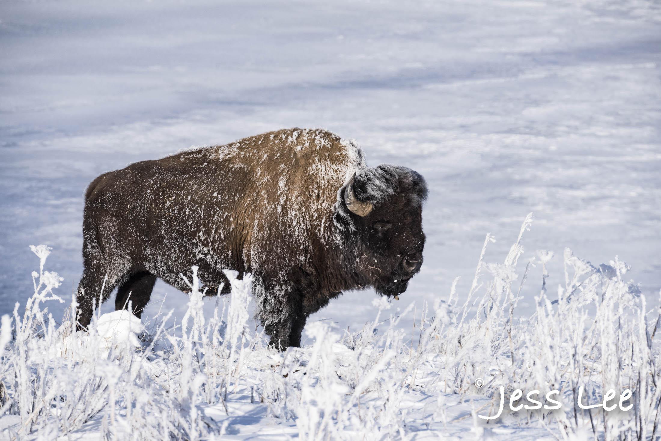bisonfrost 2467 image