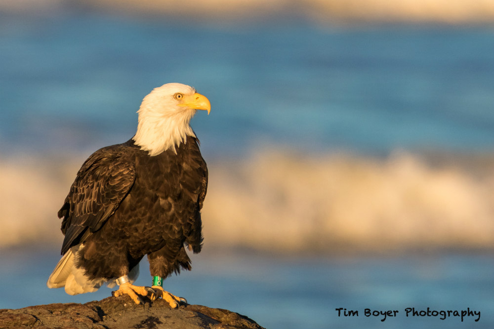Bald Eagle composed 7412 image