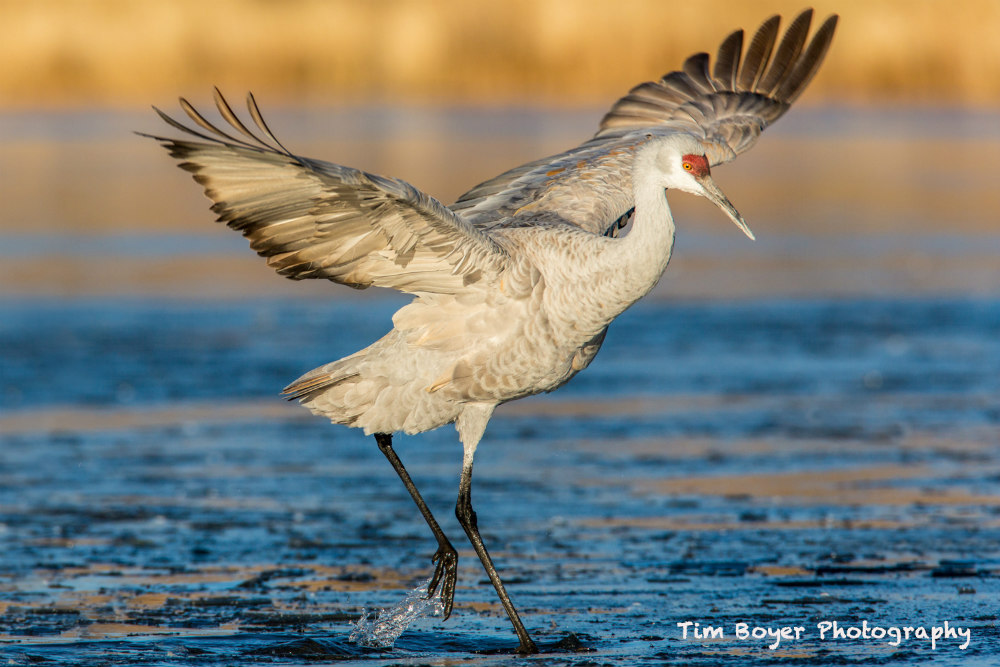 crane dancing on water ice  image