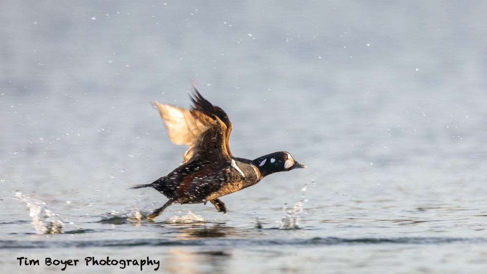 harlequin duck 1st image priority 2786 image