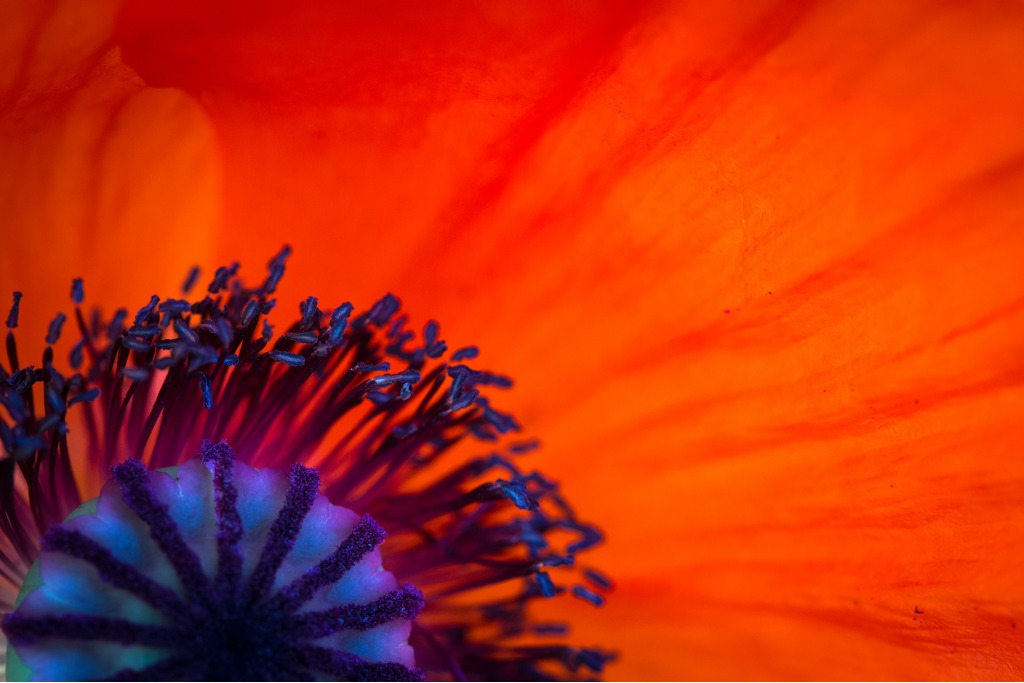poppy background picture id513128872 image