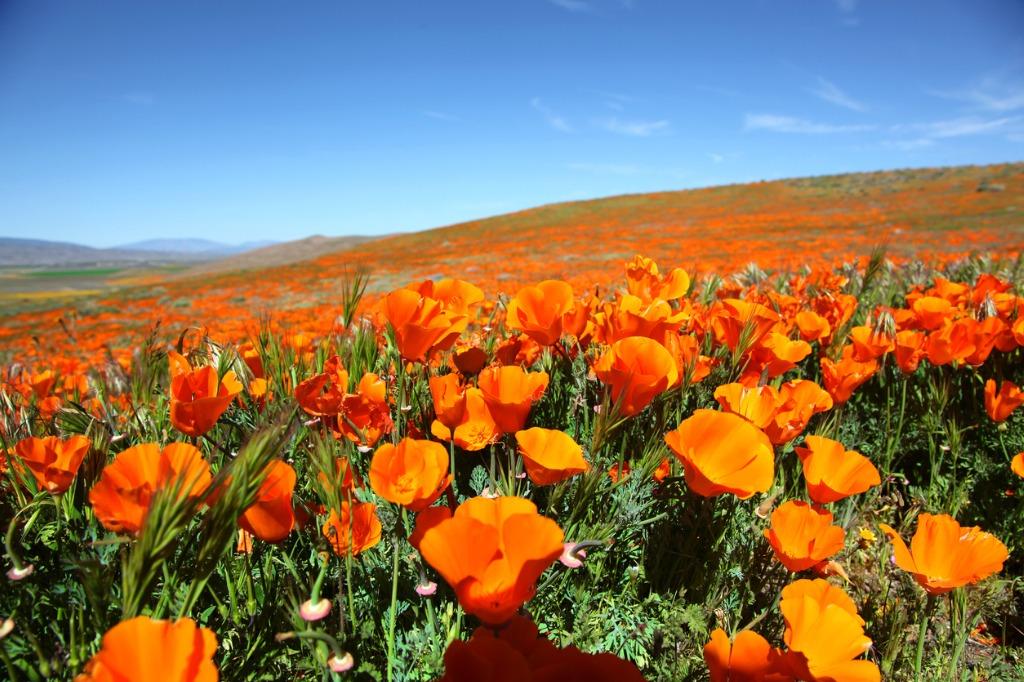 super bloom of orange california poppies picture id901049224 image