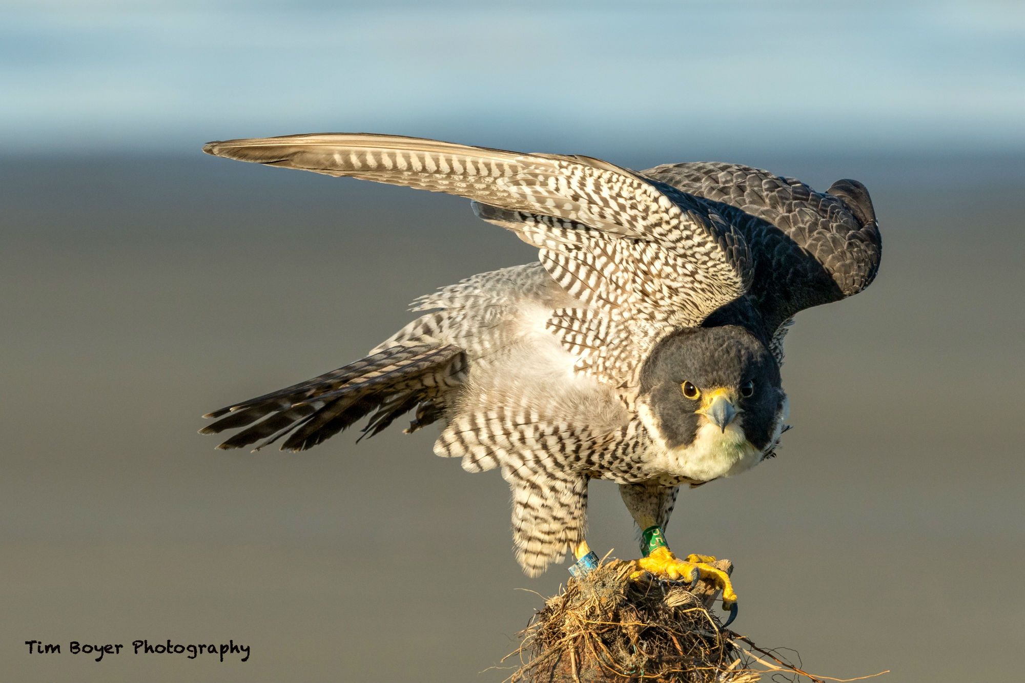 Peregrine Falcon Strong Side lighting 3741 image