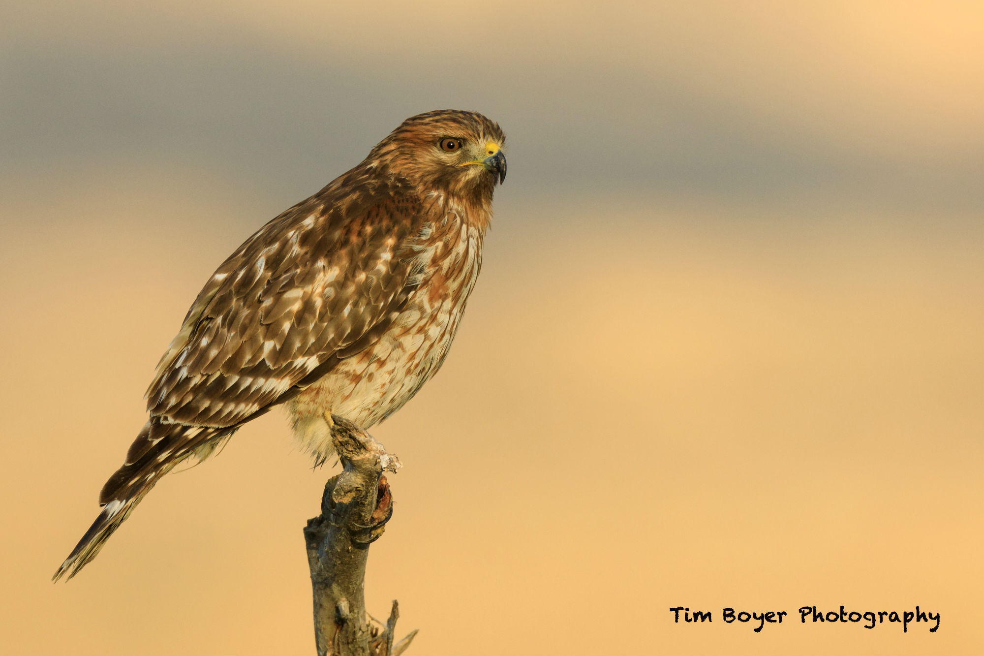 Red shouldered Hawk 8715 3 image