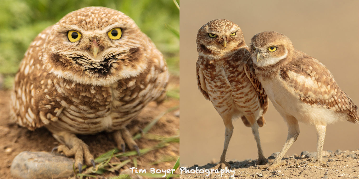 Burrowing Owls image