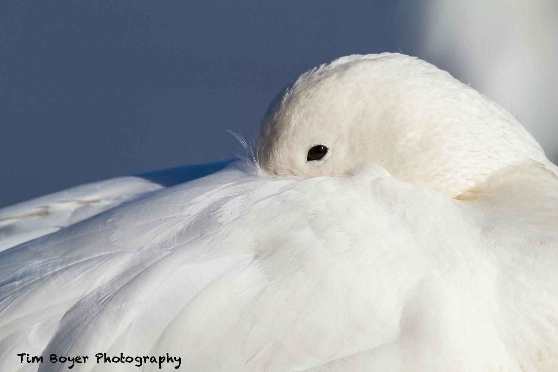 Snow Goose 1007 image