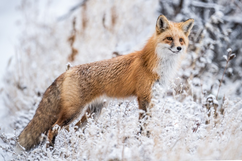 red fox hunting in snow picture id855640878 image