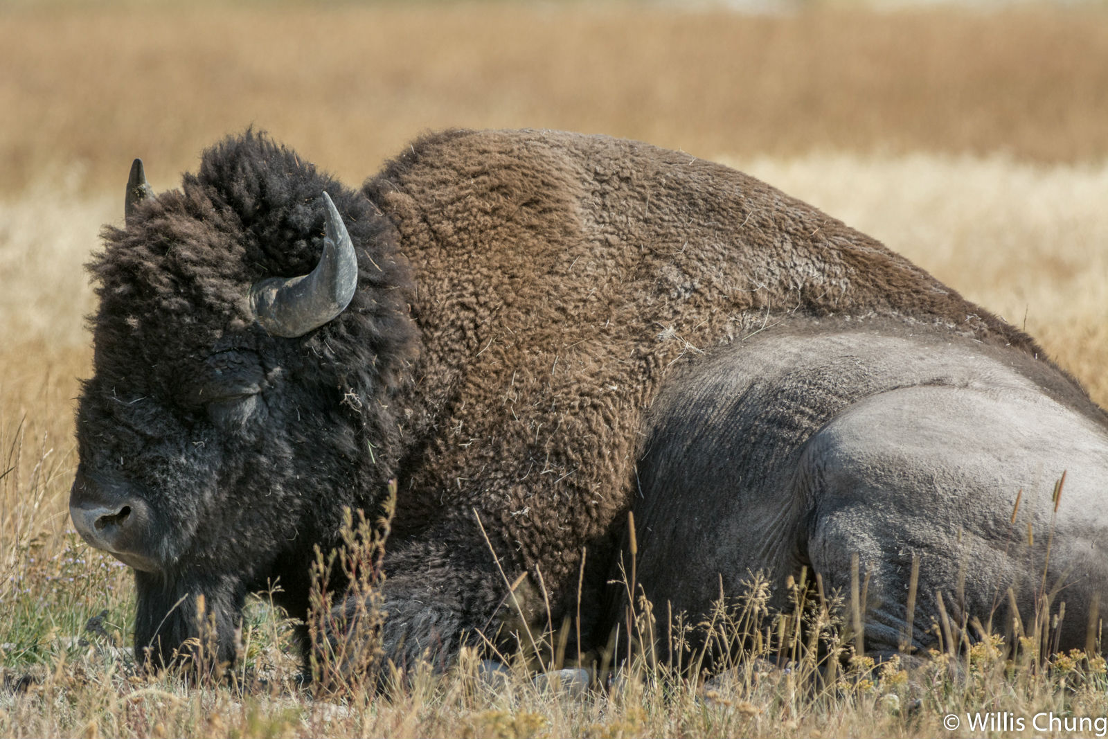 Chung Yellowstone Bull 1 image