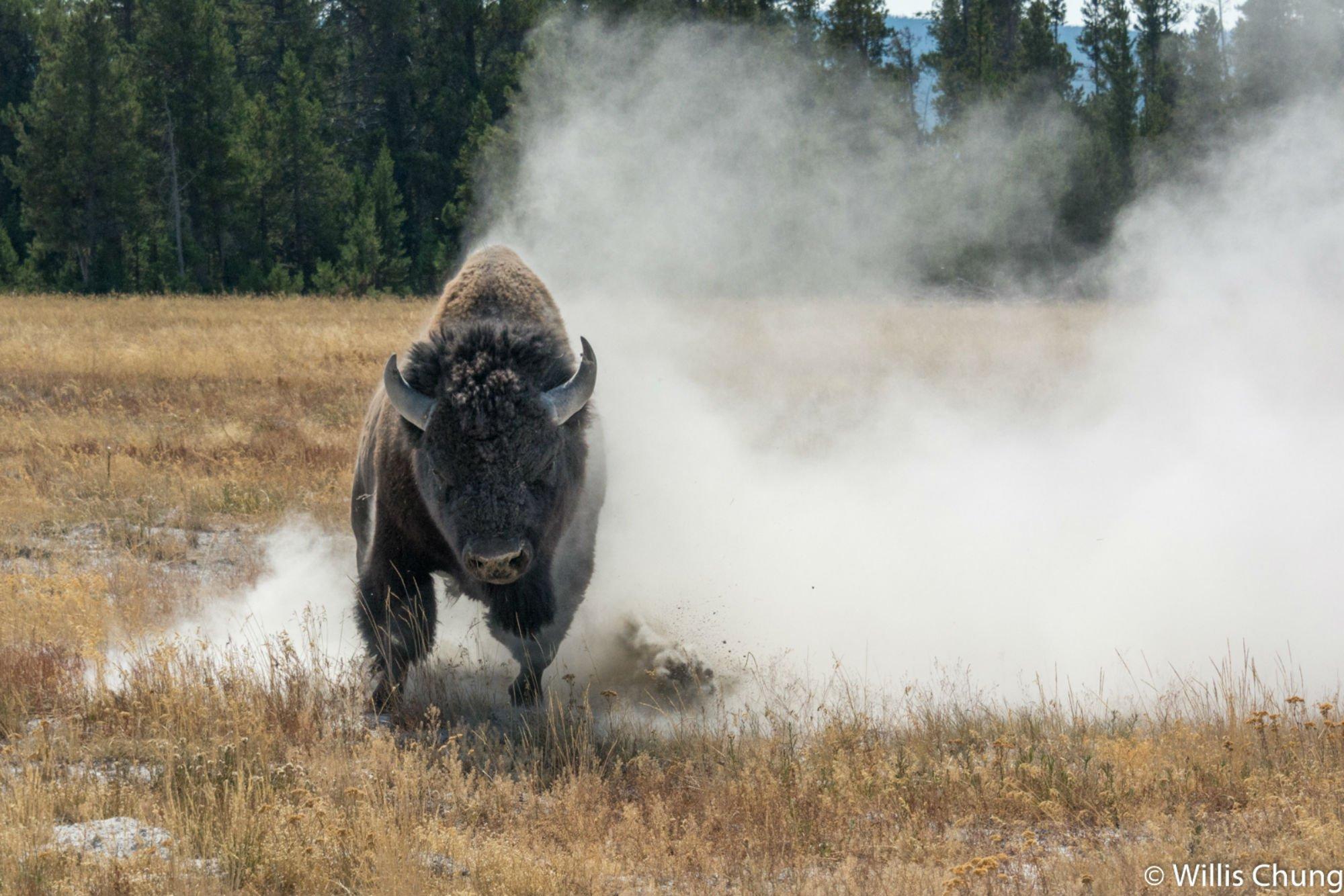 Chung Yellowstone Bull 10 image