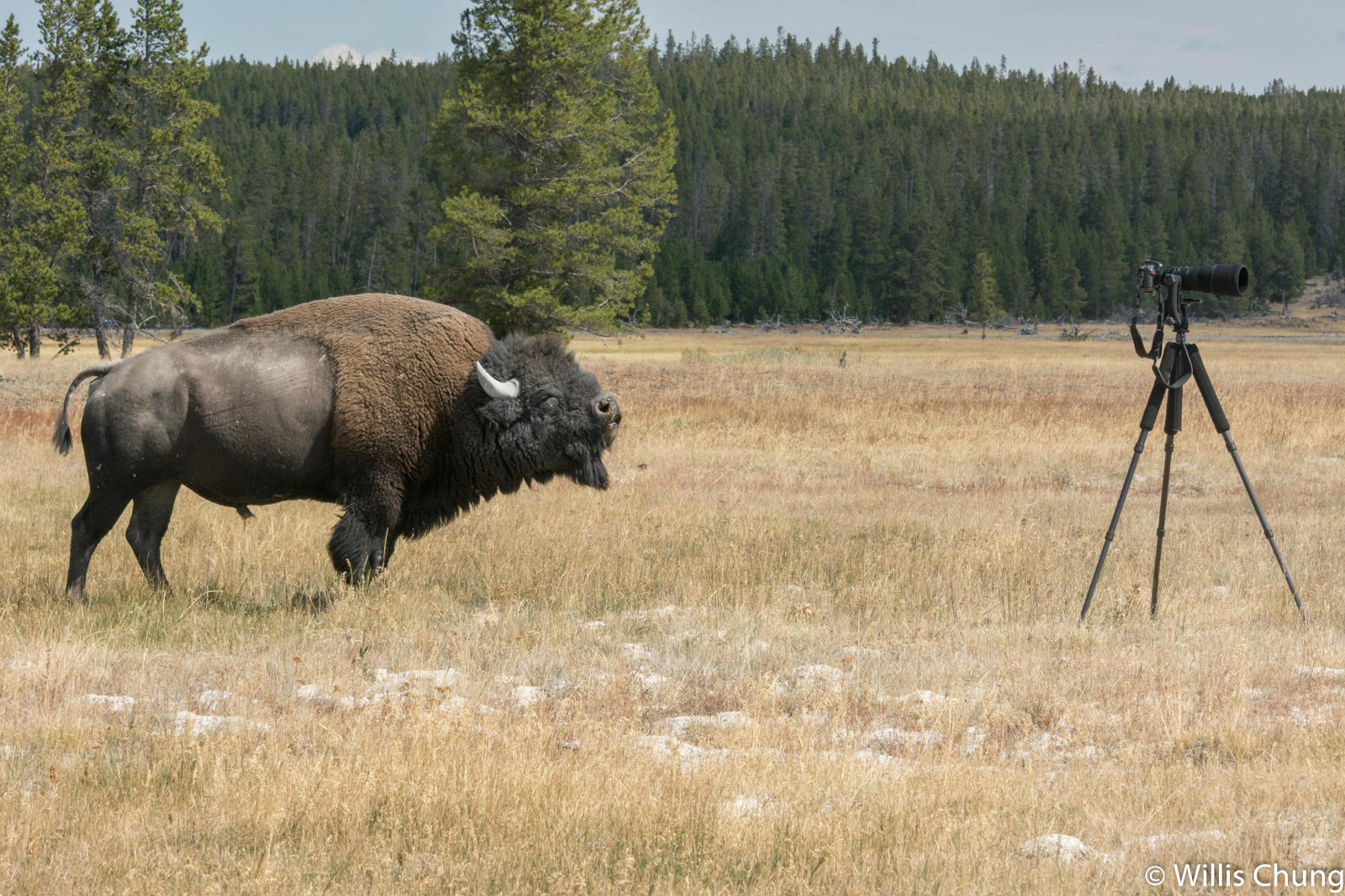 Chung Yellowstone Bull 11 image