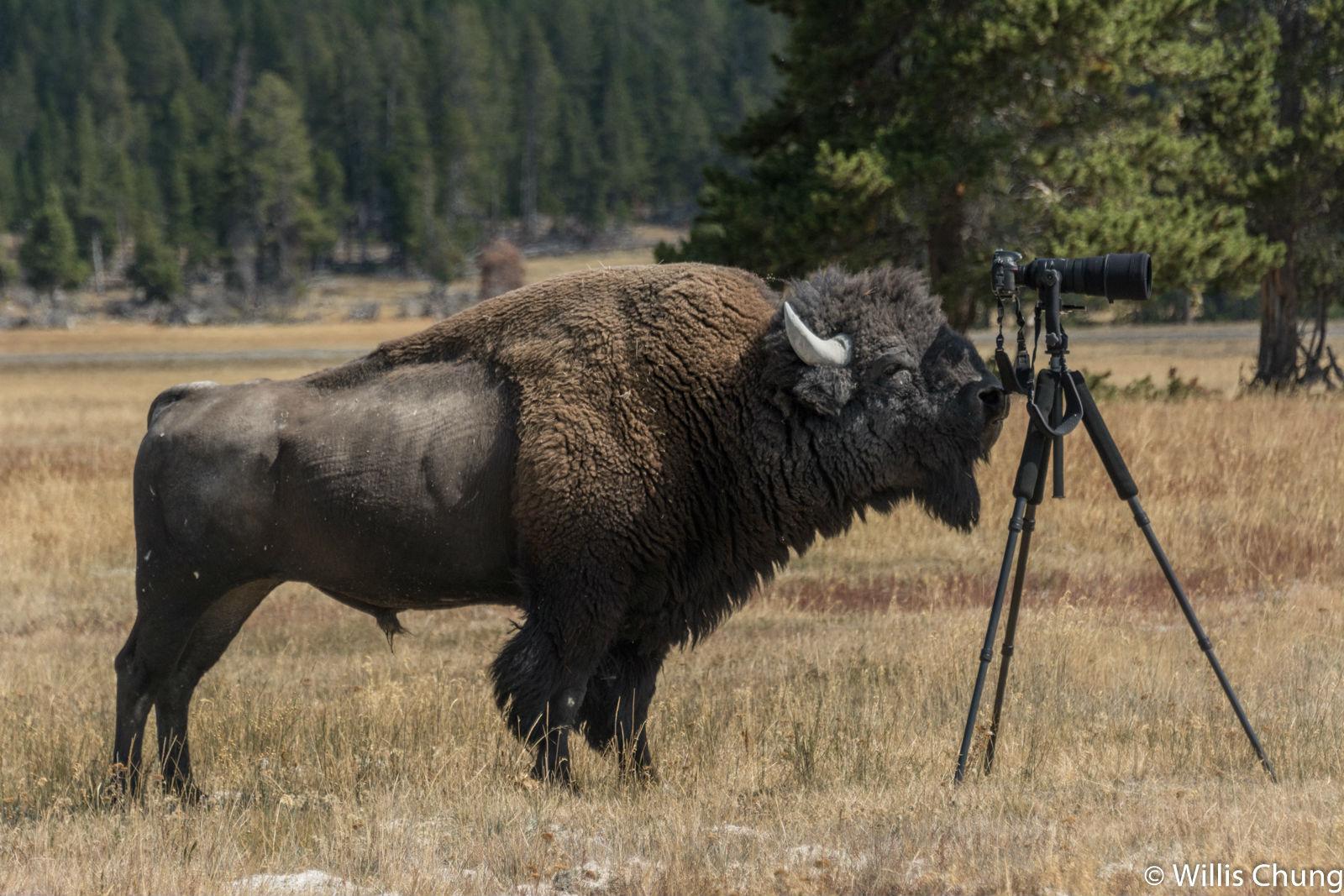 Chung Yellowstone Bull 13 image