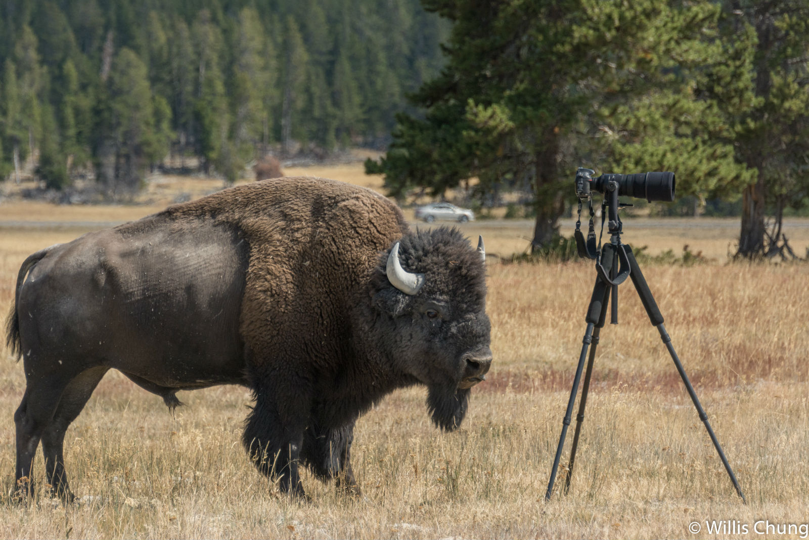 Chung Yellowstone Bull 14 image