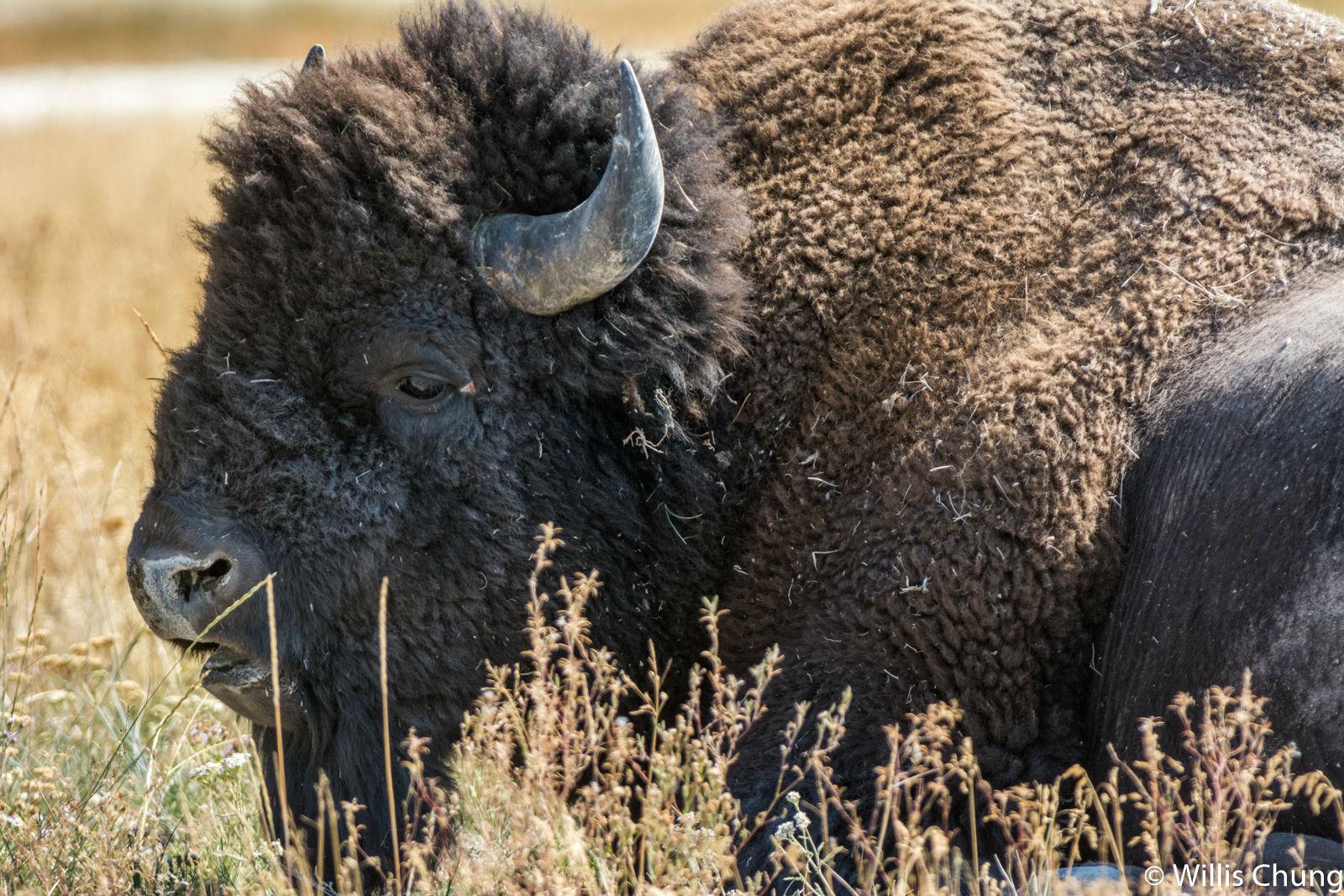 Chung Yellowstone Bull 2 image