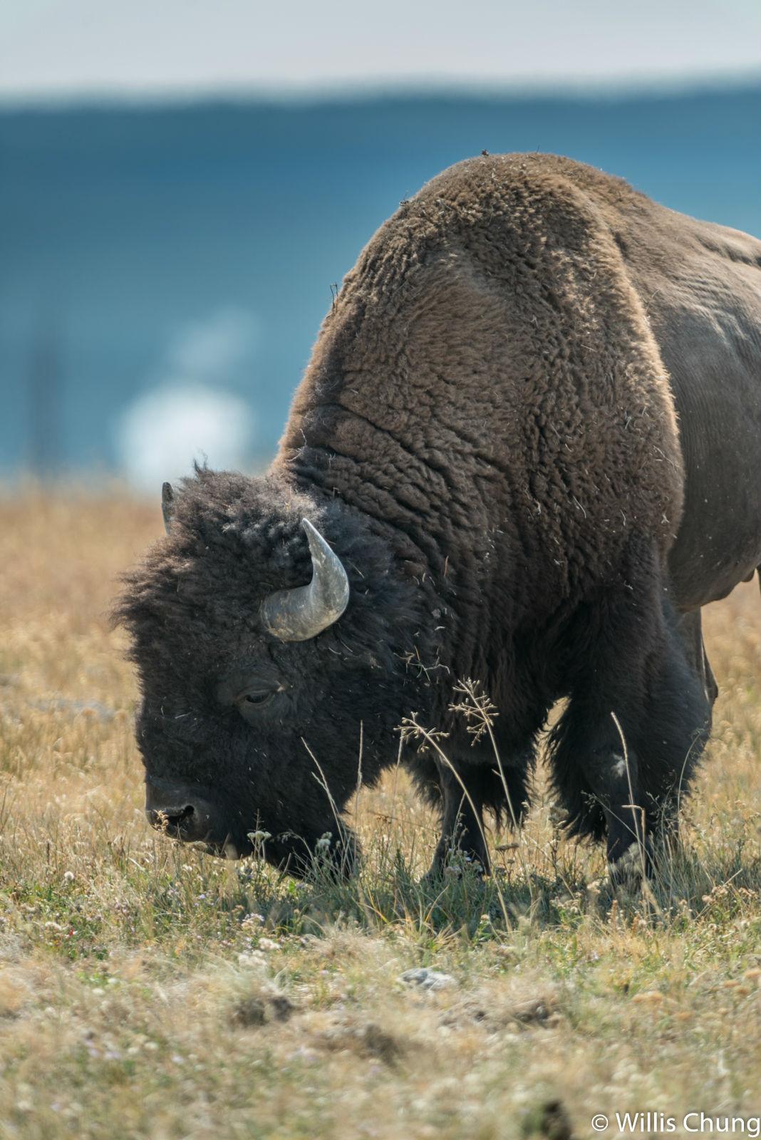 Chung Yellowstone Bull 3 image